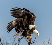 Bald Eagle at Lock and Dam 14 in LeClaire, IA